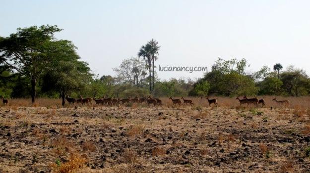 Kumpulan rusa-rusa di Savana Bekol.
