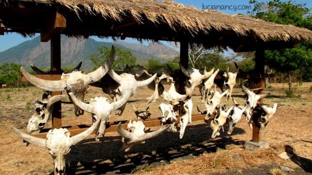 Sisa-sisa kehidupan banteng, binatang yang menjadi maskot Taman Nasional Baluran.